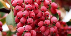 Fresh barberry-keshmeshi.shop-خرید زرشک-خرید زرشک تازه