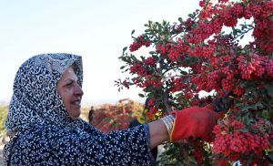 Harvesting Fresh Barberry-kwshmeshi.shop زرشک تازه